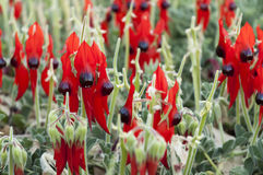 Sturts Desert Pea Royalty Free Stock Photos