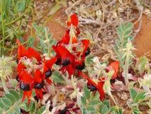 Sturts desert pea is native to australia Royalty Free Stock Image