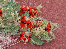 Sturts desert pea is native to australia Royalty Free Stock Photos