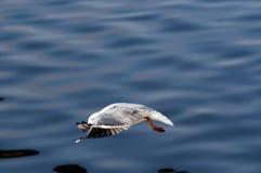 Sturzflug - Fliegenmöve lizenzfreies stockfoto