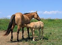 Stute, die ihr Fohlen warten lässt Lizenzfreie Stockbilder