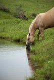 Stute, die vom Nebenfluss trinkt Stockfotos