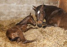 Stute mit Fohlen nach Geburt stockfotos