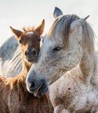 Stute mit ihrem Fohlen Weißes camargue Pferd Parc Regional de Camargue frankreich Provence stockfoto