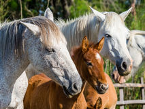 Stute mit ihrem Fohlen Weißes camargue Pferd Parc Regional de Camargue frankreich Provence lizenzfreies stockbild