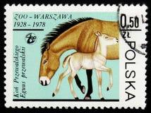 Stute und Colt Przewalski, circa 1978 Lizenzfreies Stockfoto