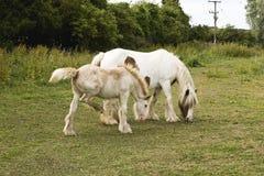 Stute und Fohlen (2) Stockfoto