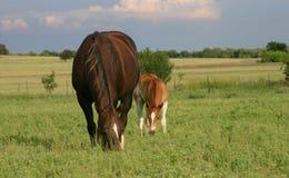 Stute und Fohlen Stockfotografie