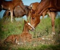 Stute und Fohlen in der Weide Stockfotografie