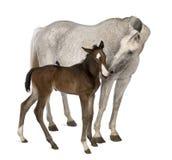 Stute und ihr Fohlen, stehend Lizenzfreies Stockfoto