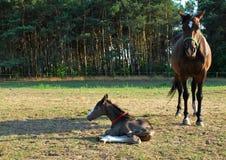 Stute und neugeborenes Fohlen Lizenzfreie Stockfotografie