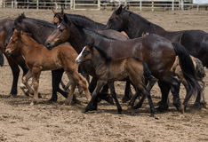 Stuten und Ponys stockfoto