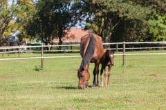 Stuteri för hästfölhingstföl Royaltyfri Bild