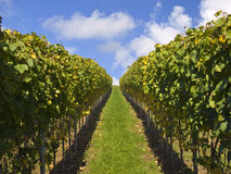 Stuttgart vineyards with blue sky Royalty Free Stock Images