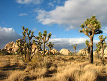 Stuuning otherworldly Joshua Tree 5 Stock Photo