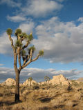 Stuuning otherworldly Joshua Tree 6 Stock Images