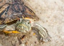 Sötvattensköldpadda Fotografering för Bildbyråer