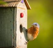 Stwarza ognisko domowe Bluebird Zdjęcia Stock