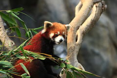 styan panda rött s Royaltyfri Fotografi