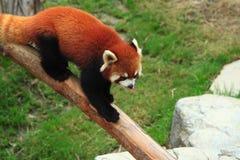 Styan's Red Panda. Living in china stock photo