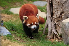 Styan's Red Panda. Living in china royalty free stock images