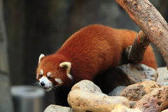 Styan's Red Panda. Living in china stock photography