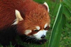Styan's Red Panda. Living in china stock photos