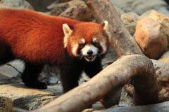 Styan's Red Panda. Living in china royalty free stock image