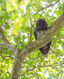 Stygian Owl looking down Royalty Free Stock Photos