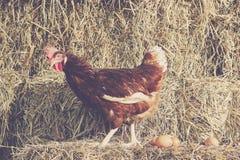 Styl życia gospodarstwo rolne w wsi, karmazynki kluje się Obraz Royalty Free