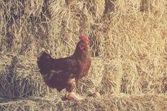 Styl życia gospodarstwo rolne w wsi, karmazynki kluje się Obrazy Royalty Free