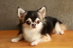 Style de chiwawa de chien Photographie stock
