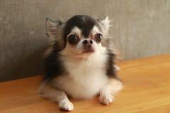 Style de chiwawa de chien Photo libre de droits