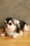 Style de chiwawa de chien Photos libres de droits