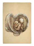 Style fetus. Leonardo da Vinci illustration royalty free stock photography
