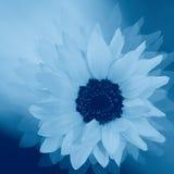 Styled sunflower. Fantasy - stylized sun-flower in blue color, cyanotypy Stock Photo