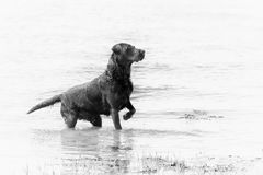 Stylised black and white picture of a Labrador gun dog in water. A processed image of a black Labrador retriever gun dog in the sea or river. Typical pose of a royalty free stock photo