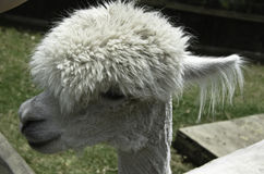 Stylish Alpaca Stock Photo