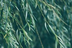 Beautiful willow branches on the wind royalty free stock photos
