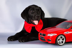 Stylish black labrador puppy on blue background with toy car Stock Images