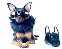 Stylish, chic dog Toy Terrier, Chihuahua. Star, diva in fashionable sunglasses and fur boa, next handbag Stock Photos