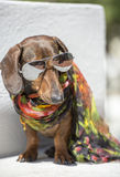Stylish Dog Chills in Sunglasses. Humanlike dachshund dog wears a scarf and sun glasses Royalty Free Stock Photos