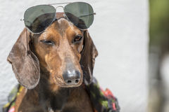 Stylish Dog with Sunglasses Winks. Dachshund dog winks clothed in a scarf and sun glasses Stock Photo