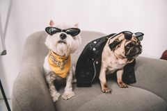 Stylish dogs in sunglasses Royalty Free Stock Photography