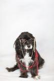 Stylish Elderly Dog Stock Photography