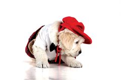 Stylish and Elegant, Red Puppy Girl royalty free stock photo