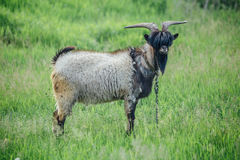 Stylish goat with bang and beard on background of green meadow Royalty Free Stock Image