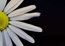 Stylish half daisy on black background. Half white field chamomile with delicate petals and a yellow core on a neutral black background. Composition with a stock photos