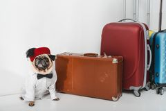 Stylish pug with suitcases Royalty Free Stock Images