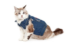 Stylish Ragdoll Cat Wearing A Jean Jacket Stock Photos